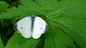 1356850_large_white_butterfly_-_pieris_brassicae
