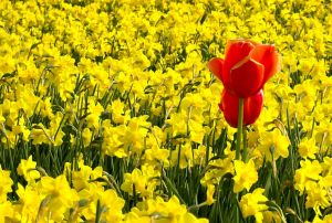 775882_red_tulips_in_yellow