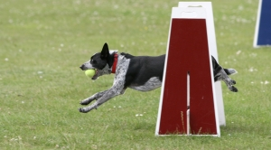1255226_dog_competition