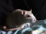 carrie-the-rat-410009-m